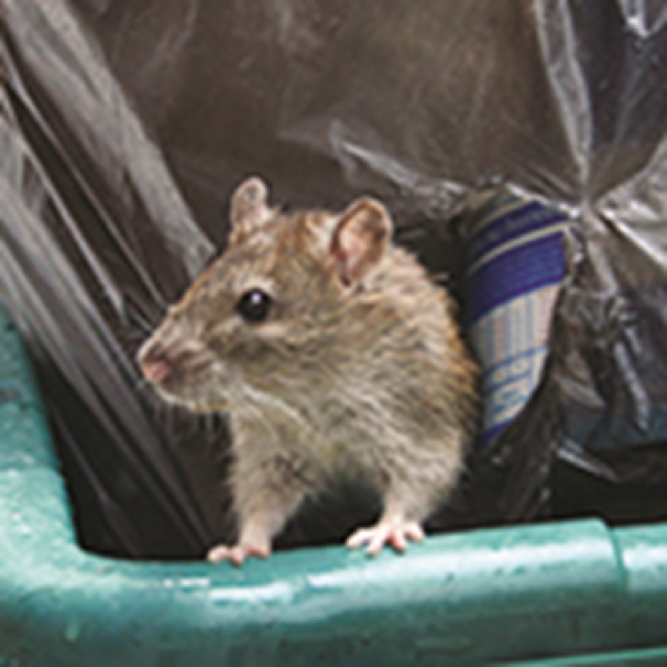 Rat-in-Garbage_blog